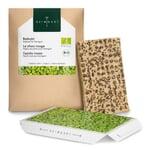 Microgreens-Saatpad Rotkohl